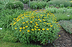 Tuscan Sun False Sunflower (Heliopsis helianthoides 'Tuscan Sun') at Colonial Gardens
