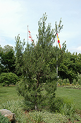Twisted White Pine (Pinus strobus 'Contorta') at Colonial Gardens