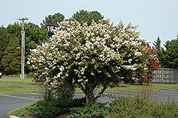Acoma Crapemyrtle (Lagerstroemia 'Acoma') at Colonial Gardens