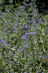 Bluebeard (Caryopteris x clandonensis) at Colonial Gardens