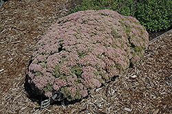 Rock 'N Grow® Pure Joy Stonecrop (Sedum 'Pure Joy') at Colonial Gardens