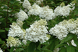 Fire And Ice Hydrangea (Hydrangea paniculata 'Wim's Red') at Colonial Gardens