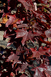 Crimson Sunset Maple (Acer 'JFS-KW202') at Colonial Gardens