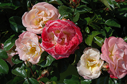 Peach Drift® Rose (Rosa 'Meiggili') at Colonial Gardens