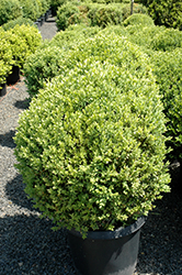 Green Mountain Boxwood (globe form) (Buxus 'Green Mountain (globe)') at Colonial Gardens