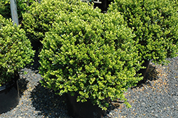 Green Beauty Boxwood (globe form) (Buxus 'Green Beauty (globe)') at Colonial Gardens