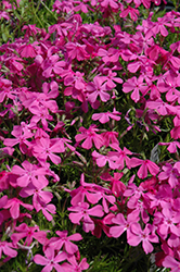 Drummond's Pink Moss Phlox (Phlox subulata 'Drummond's Pink') at Colonial Gardens