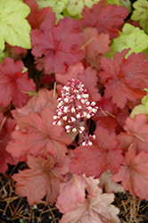 Fire Alarm Coral Bells (Heuchera 'Fire Alarm') at Colonial Gardens
