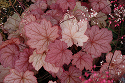 Georgia Peach Coral Bells (Heuchera 'Georgia Peach') at Colonial Gardens