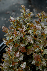Tiny Wine® Ninebark (Physocarpus opulifolius 'SMPOTW') at Colonial Gardens