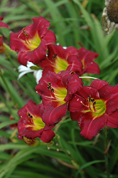 Pardon Me Daylily (Hemerocallis 'Pardon Me') at Colonial Gardens