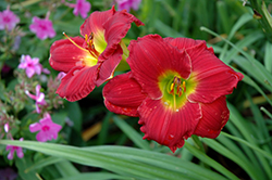 Happy Ever Appster® Red Hot Returns Daylily (Hemerocallis 'Red Hot Returns') at Colonial Gardens