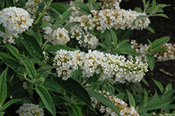 Little Angel Butterfly Bush (Buddleia 'Little Angel') at Colonial Gardens