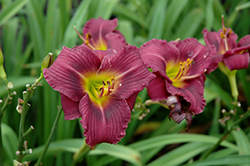 Little Grapette Daylily (Hemerocallis 'Little Grapette') at Colonial Gardens
