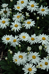 Whoops-A-Daisy Shasta Daisy (Leucanthemum x superbum 'Whoops-A-Daisy') at Colonial Gardens