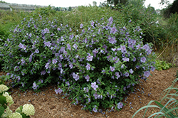 Blue Chiffon® Rose of Sharon (Hibiscus syriacus 'Notwoodthree') at Colonial Gardens