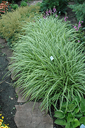 Ice Dance Sedge (Carex morrowii 'Ice Dance') at Colonial Gardens