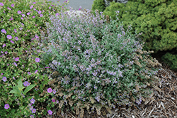 Cat's Meow Catmint (Nepeta x faassenii 'Cat's Meow') at Colonial Gardens
