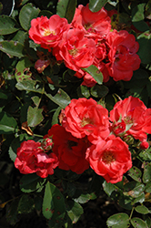 Coral Drift® Rose (Rosa 'Meidrifora') at Colonial Gardens