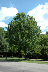 Overcup Oak (Quercus lyrata) at Colonial Gardens