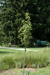 Armstrong Gold Red Maple (Acer rubrum 'JFS-KW78') at Colonial Gardens