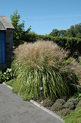Huron Sunrise Maiden Grass (Miscanthus sinensis 'Huron Sunrise') at Colonial Gardens