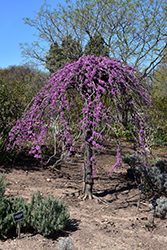 Lavender Twist Redbud (Cercis canadensis 'Covey') at Colonial Gardens