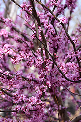 Ace Of Hearts Redbud (Cercis canadensis 'Ace Of Hearts') at Colonial Gardens
