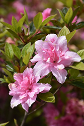 Encore® Autumn Carnation™ Azalea (Rhododendron 'Roblec') at Colonial Gardens