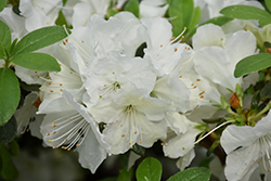 Girard's Pleasant White Azalea (Rhododendron 'Girard's Pleasant White') at Colonial Gardens