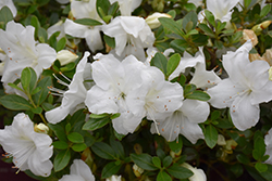 Encore® Autumn Angel™ Azalea (Rhododendron 'Robleg') at Colonial Gardens