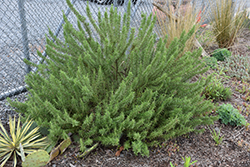 Arp Rosemary (Rosmarinus officinalis 'Arp') at Colonial Gardens