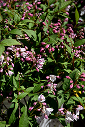 Yuki Cherry Blossom® Deutzia (Deutzia 'NCDX2') at Colonial Gardens