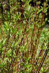 Arctic Fire® Red Twig Dogwood (Cornus sericea 'Farrow') at Colonial Gardens