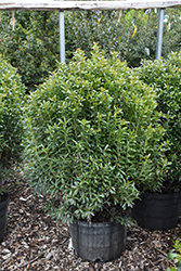 Compact Inkberry Holly (Ilex glabra 'Compacta') at Colonial Gardens