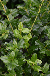 China Girl Meserve Holly (Ilex x meserveae 'China Girl') at Colonial Gardens