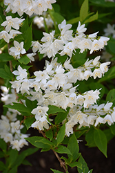 Chardonnay Pearls® Deutzia (Deutzia gracilis 'Duncan') at Colonial Gardens