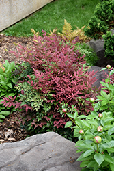 Obsession™ Nandina (Nandina domestica 'Seika') at Colonial Gardens