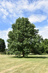 Swamp White Oak (Quercus bicolor) at Colonial Gardens