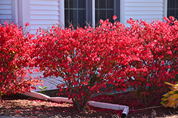 Chicago Fire Burning Bush (Euonymus alatus 'Chicago Fire') at Colonial Gardens