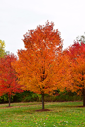 Commemoration Sugar Maple (Acer saccharum 'Commemoration') at Colonial Gardens
