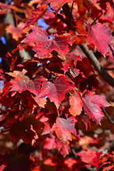 Autumn Flame Red Maple (Acer rubrum 'Autumn Flame') at Colonial Gardens