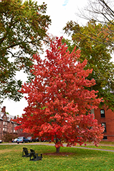 Bowhall Red Maple (Acer rubrum 'Bowhall') at Colonial Gardens