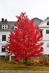 Sun Valley Red Maple (Acer rubrum 'Sun Valley') at Colonial Gardens
