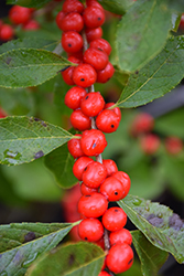 Red Sprite Winterberry (Ilex verticillata 'Red Sprite') at Colonial Gardens