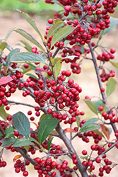 Brilliantissima Red Chokeberry (Aronia arbutifolia 'Brilliantissima') at Colonial Gardens