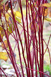 Red Osier Dogwood (Cornus sericea) at Colonial Gardens