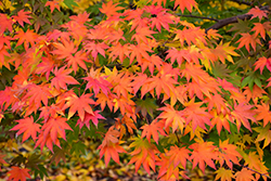 Japanese Maple (Acer palmatum) at Colonial Gardens