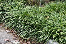 Big Blue Lily Turf (Liriope muscari 'Big Blue') at Colonial Gardens
