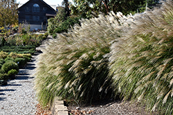 Gracillimus Maiden Grass (Miscanthus sinensis 'Gracillimus') at Colonial Gardens
